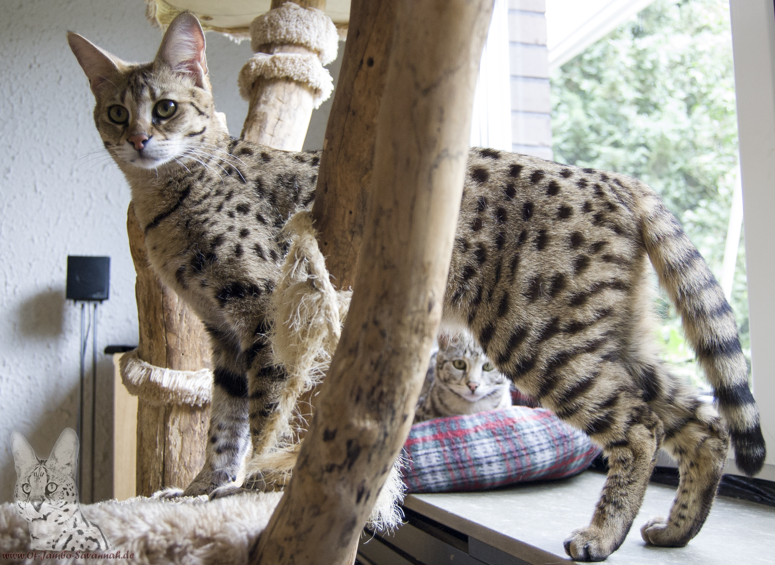 F1 Savannah Cat, F1 Savannahzucht, Angela Hönig, Savannahkatzen, Savannahcats, Savannahcat, F1,