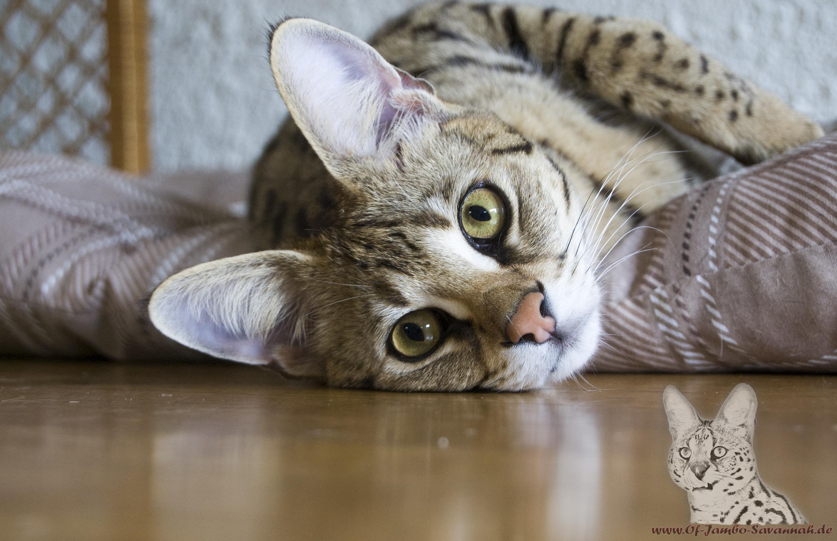 Savannahcat, F1 Savannah Katze, Savannahkatzen, Katzenzucht, Bella,
