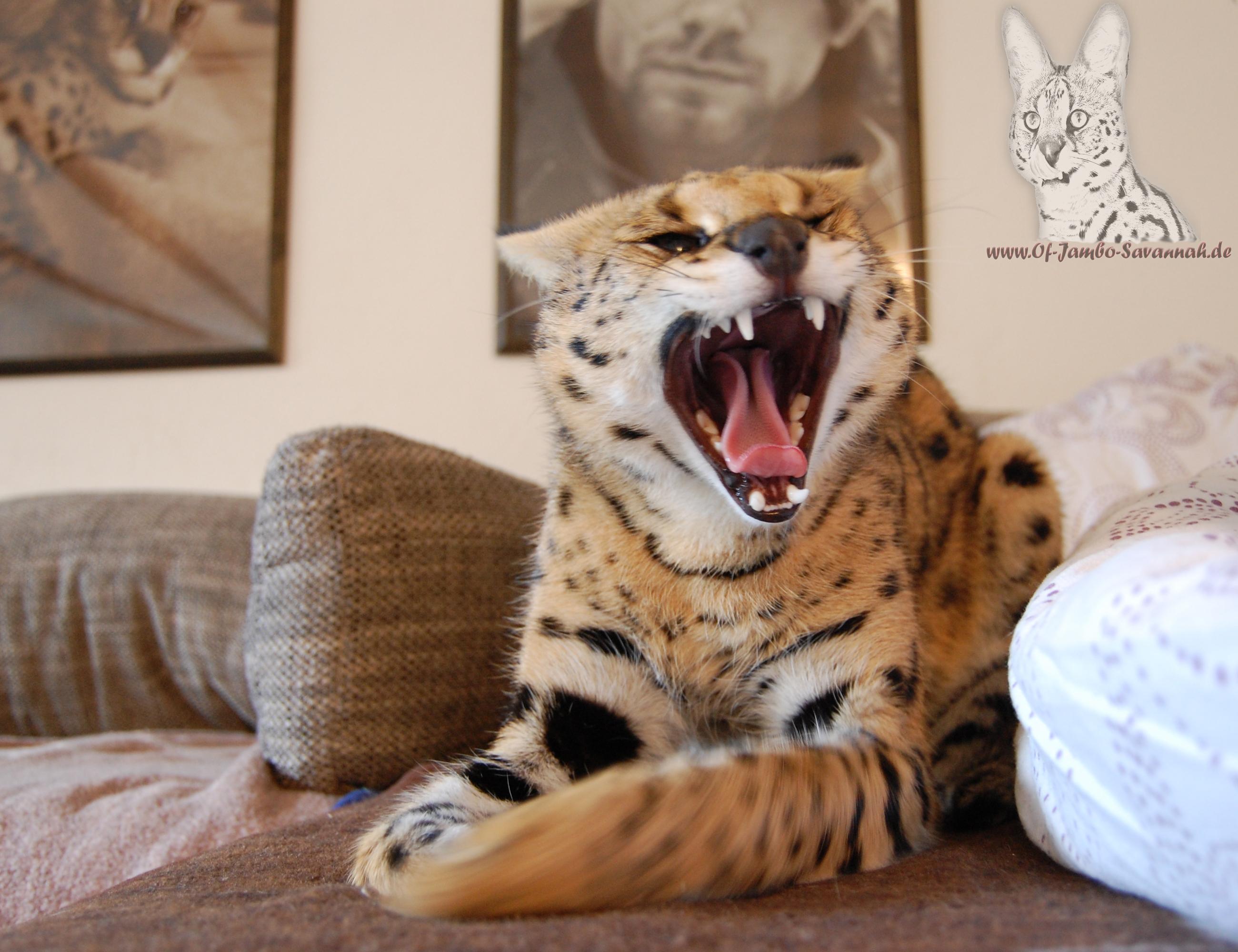Serval Thor ist der Zuchtkater von der Savannahkatzen Zucht Of Jambo Savannah