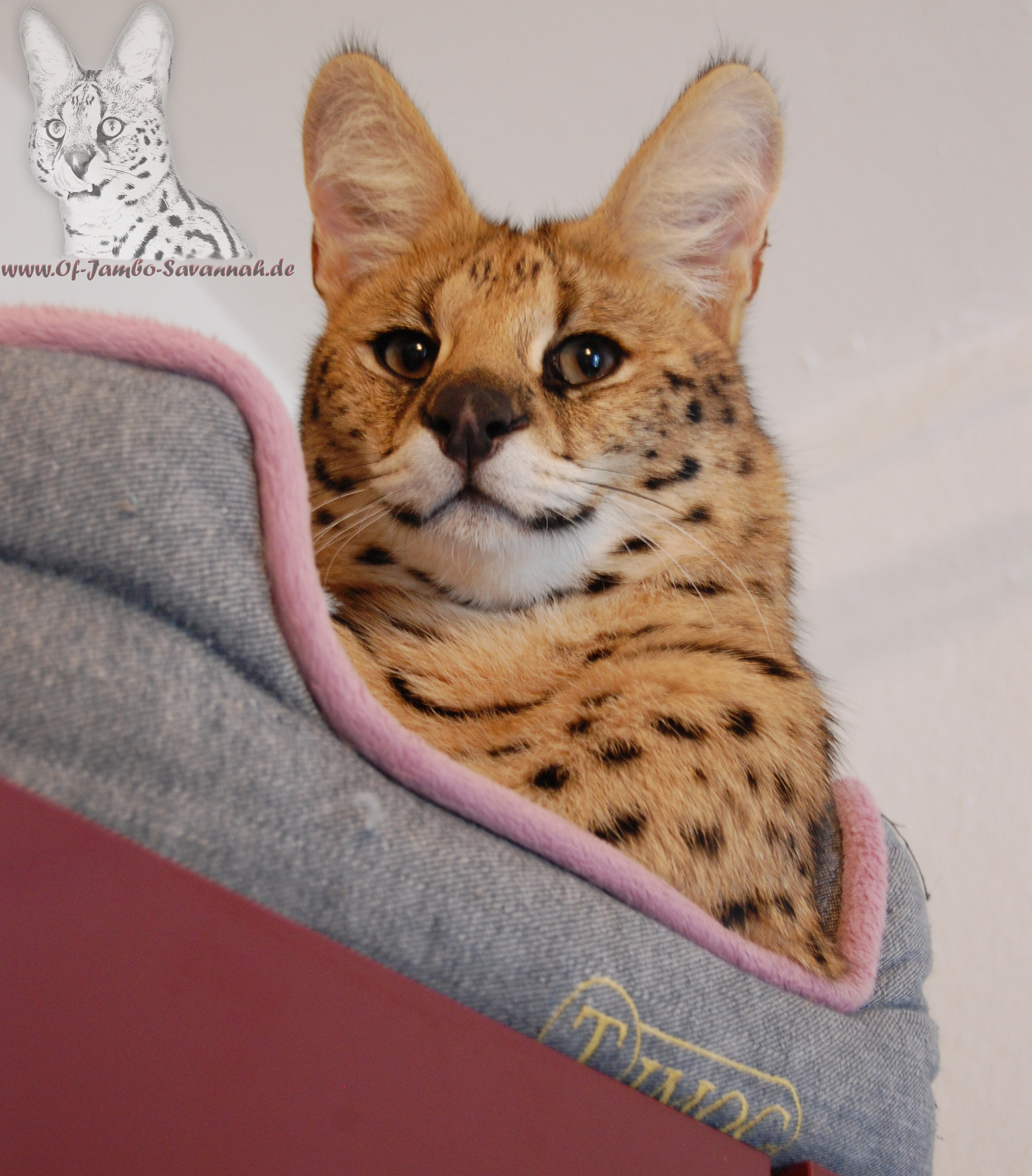 "African Serval ""Thor"" von der Savannahzucht ""Of Jambo Savannah Cats"""