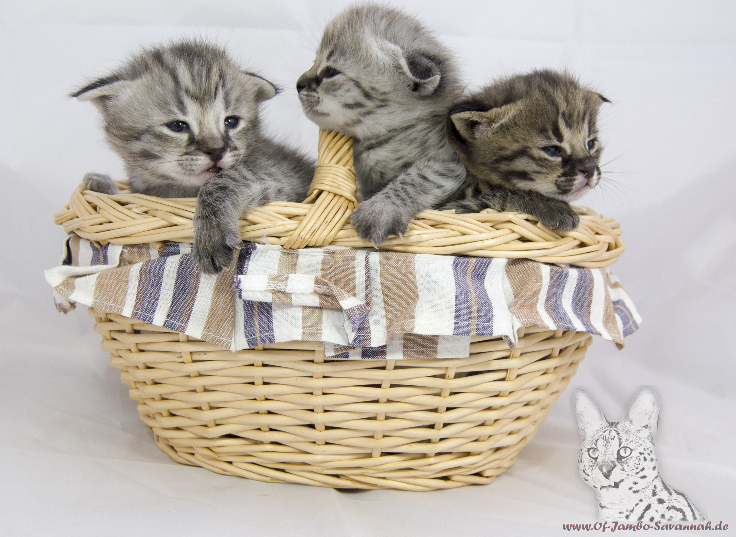 Savannah Cats of Jambo Three F1 Savannah kitten in the basket!