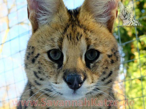 Kopf von einem afrikanischen Serval