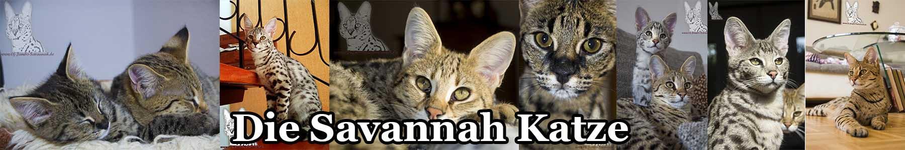 savannah katze of jambo savannah cats. Black Bedroom Furniture Sets. Home Design Ideas