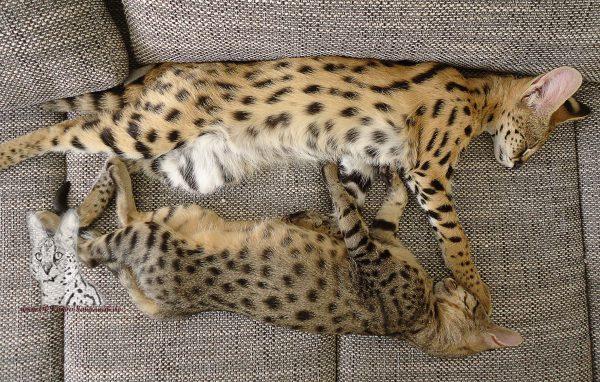Auf diesem Bild sieht man eine F3 Savannah und einen jungen Serval.