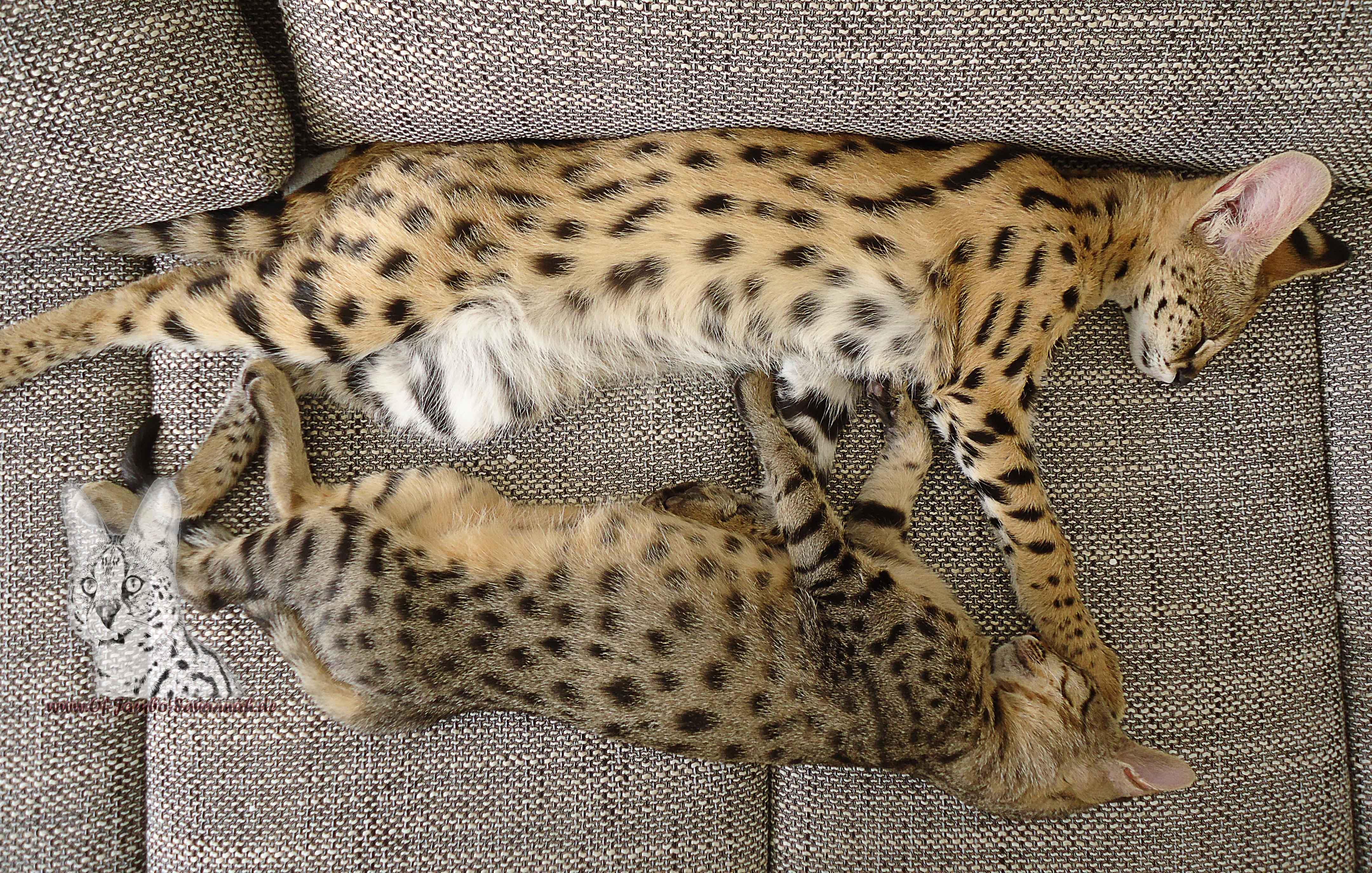 serval katze
