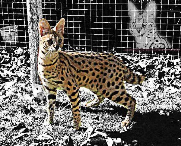 Afrikanischer Serval Thor von Angela Hönig und der Savannahkatzenzucht Of Jambo Savannah