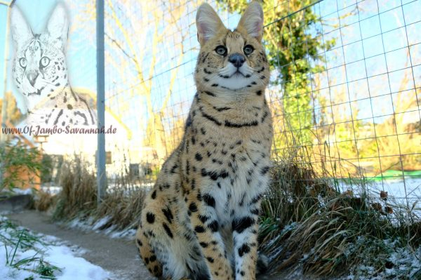 "Here is Serval ""Thor"" in its exterior. Thor is the serval of the Savannah breed ""Of Jambo Savannah Cats"" by Angela Hönig from Germany."