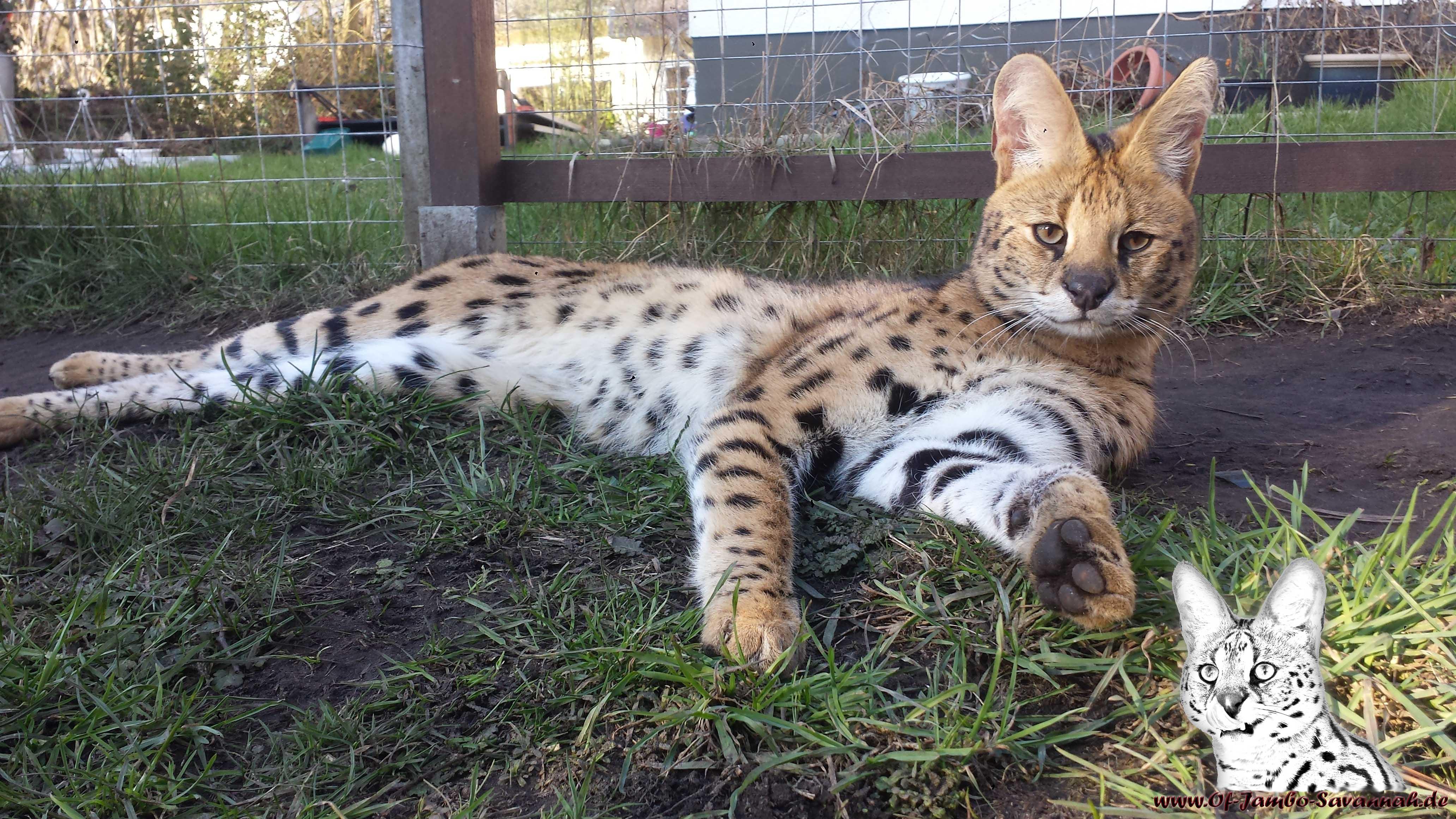 Ein Serval ist eine große Kleinkatze und lebt in feuchten gut bewachsenen Gebieten der Savannah.