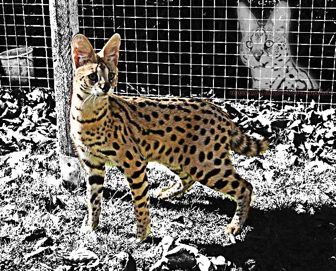 """Afrikanischer Serval """"Thor"""" ist der Serval aus der Savannah Katzenzucht """"Of Jambo Savannah Cat`s"""" aus Deutschland."""