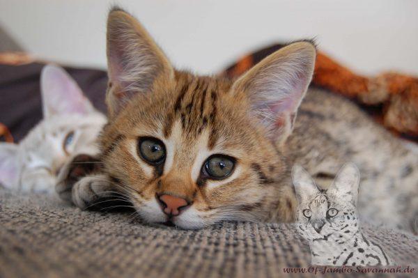Auf diesem Bild sehen sie ein F1 Savannah Kitten. Es ist Bella of Jambo. Im Alter von ca. 10 Wochen.