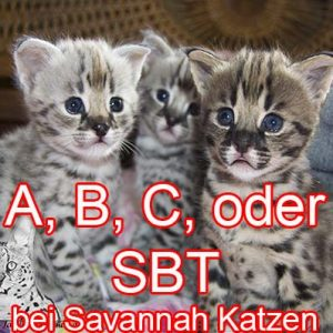 What does A, B, or SBT mean for Savannah cats?