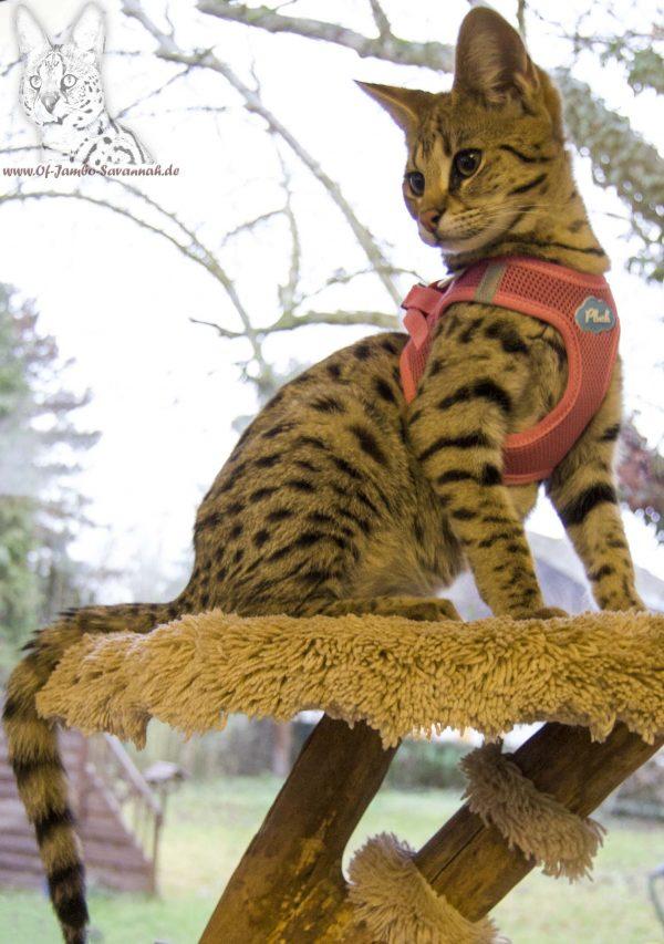 F1 Savannah Katze mit Geschirr