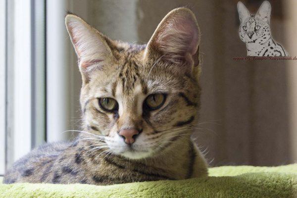 Hier sieht man sehr schön die großen Ohren einer F1 Savannah Katze.