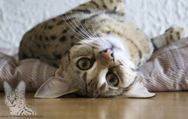 """Giant serval eyes and huge ears. A dear being and great familiarity to man. This is our F1 Savannah cat """"Bella"""