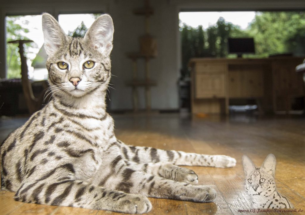 f1 savannah katze diamond of jambo gez chtet von angela h nig of jambo savannah cats. Black Bedroom Furniture Sets. Home Design Ideas