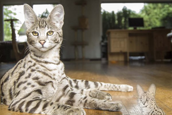 Diamond was our first F1 Savannah cat. He is the son of a F6 Savannah and Serval Thor. He is a great Savannah cat.
