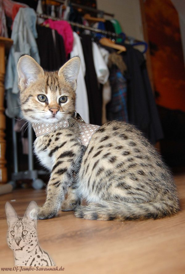 """Here you can see a beautiful F1 Savannah Kitten. The small Savannah cat Bella is about 12 weeks old in this picture. Bella was the first F1 Savannah from the Savannah cat """"Of Jambo Savannah""""."""