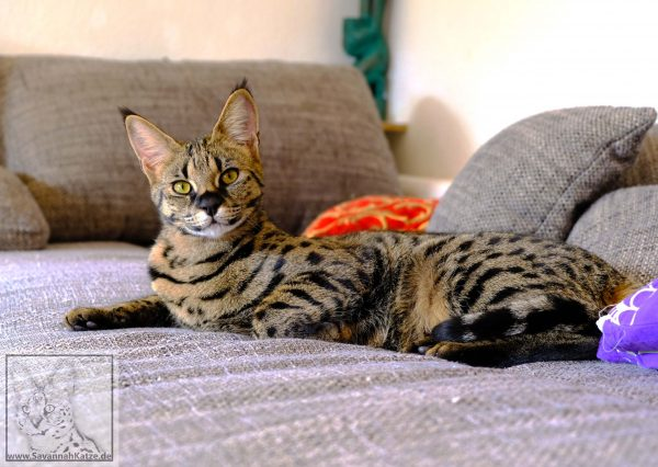 "F1 Savannah cat ""Elli of Jambo"" from the German Savannah breed of Angela Hönig."