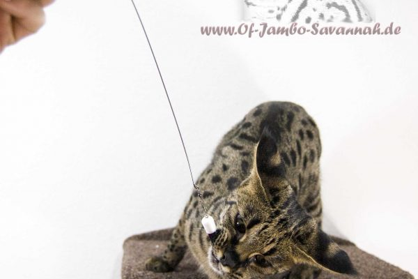 Savannahcat from Germany