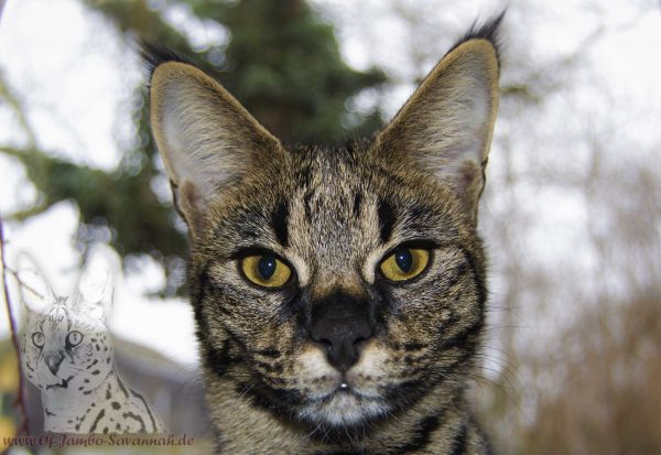 Elli of Jambo is a F1 Savannah with a very distinctive face that very much reminds your father of the Serval! With your black nose and your exceptionally loving character, this Savannah cat wraps everyone around the finger!