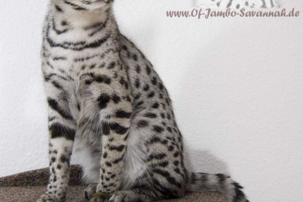 Emma is a silver F1 Savannah Cat