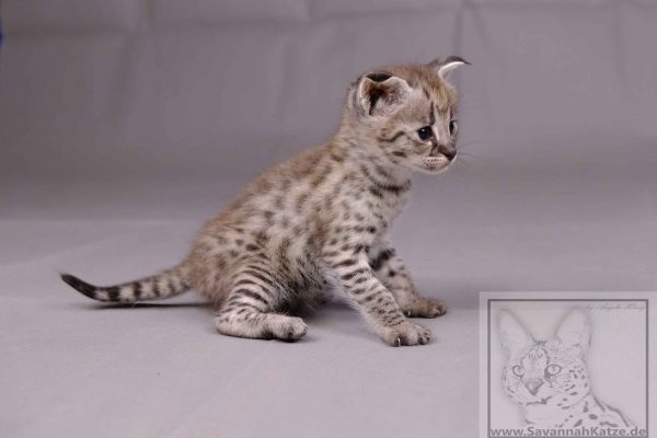 Siver F1 Savannah Girl Available