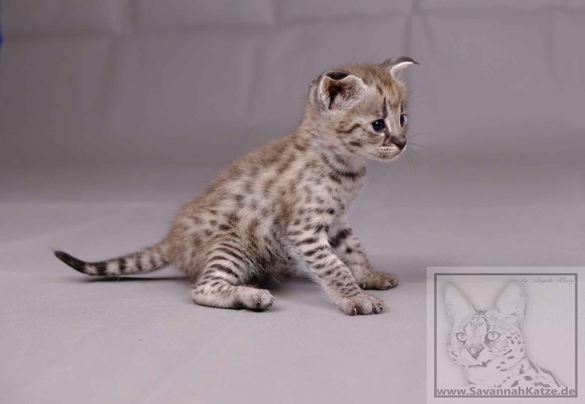 Savannah Kitten Mit Papieren Und Gesundheitszeugnis Abzugeben