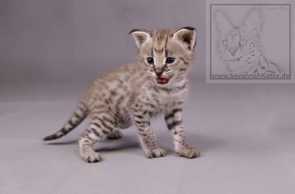Savannah Cats Germany