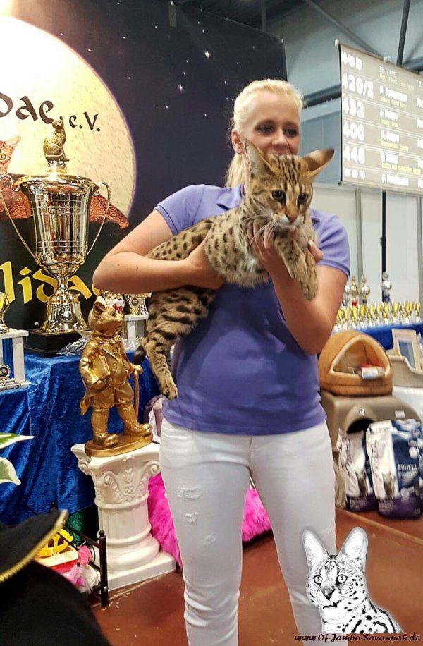 Savannah Katze Bella auf einer internationalen Katzenausstellung. Gerade auf solchen Ausstellungen sind gefestigte Charaktäre der Katzen sehr wichtig!