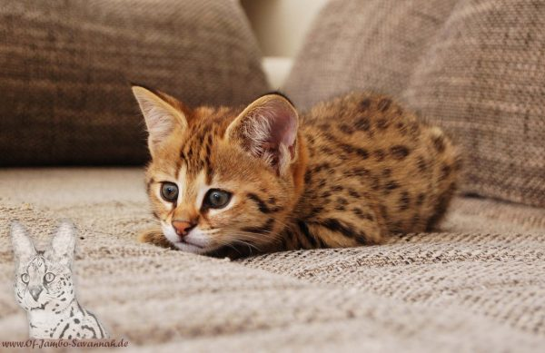 "Here is a F1 Savannah Kitten from the breed ""Of Jambo Savannah Cats"". Always look for a good family tree at Kitten and only buy from reputable breeders. Reputable Savannah breeders can be found at www.felidae-ev.com"
