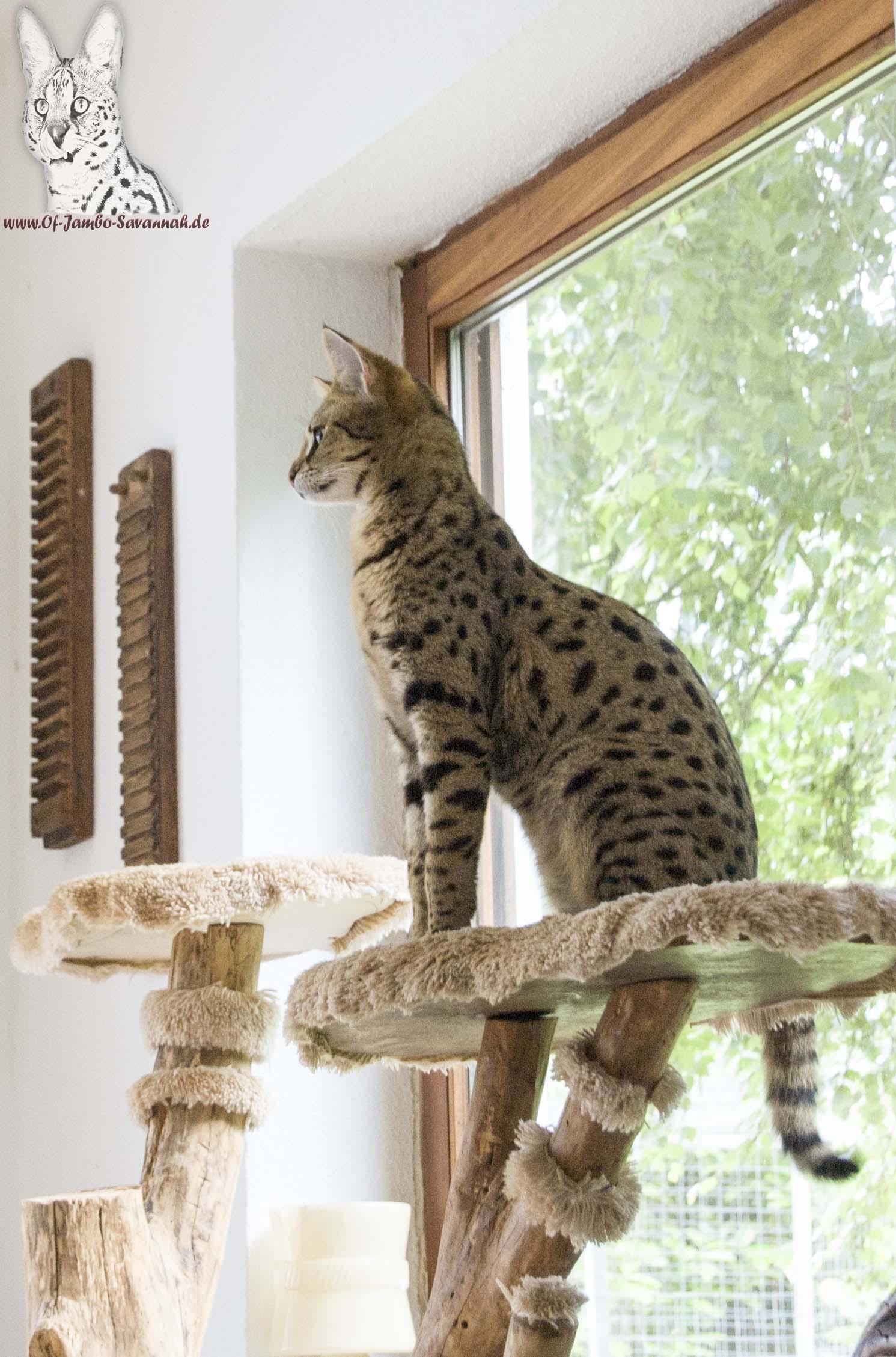 f1 savannah cat bella von der deutschen savannah katzenzucht of jambo savannah of jambo. Black Bedroom Furniture Sets. Home Design Ideas