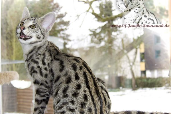 F1 Savannah Cat, F1 Savannah Boy, Savannahkatze, Savannahzuvcht, Angela Hönig,