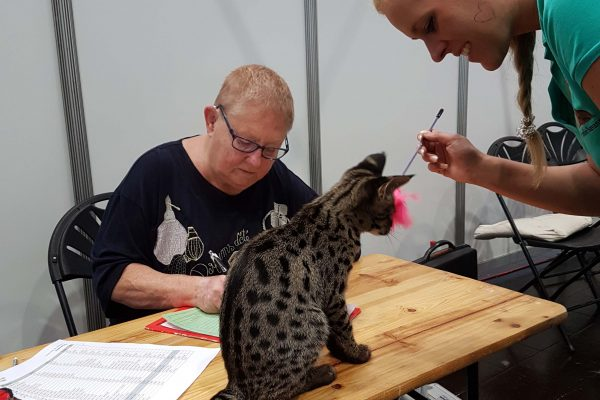 F1 Savannah Elli of Jambo auf einer internationalen Katzenausstellung! Hier gerade auf dem Richtertisch! So gut sozialisiert sind die F1 Savannah Katzen von Angela Hönig aus Deutschland!