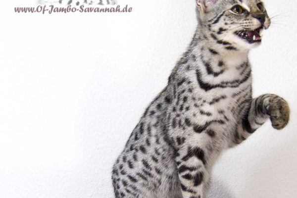 Emma is an silver F1 Savannah Cat