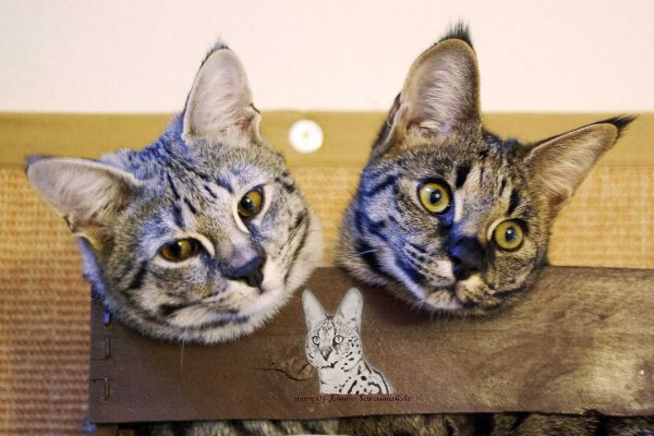 My two F1 Savannah cat girls Emma and Elli are siblings! Both are excellent and inseparable!