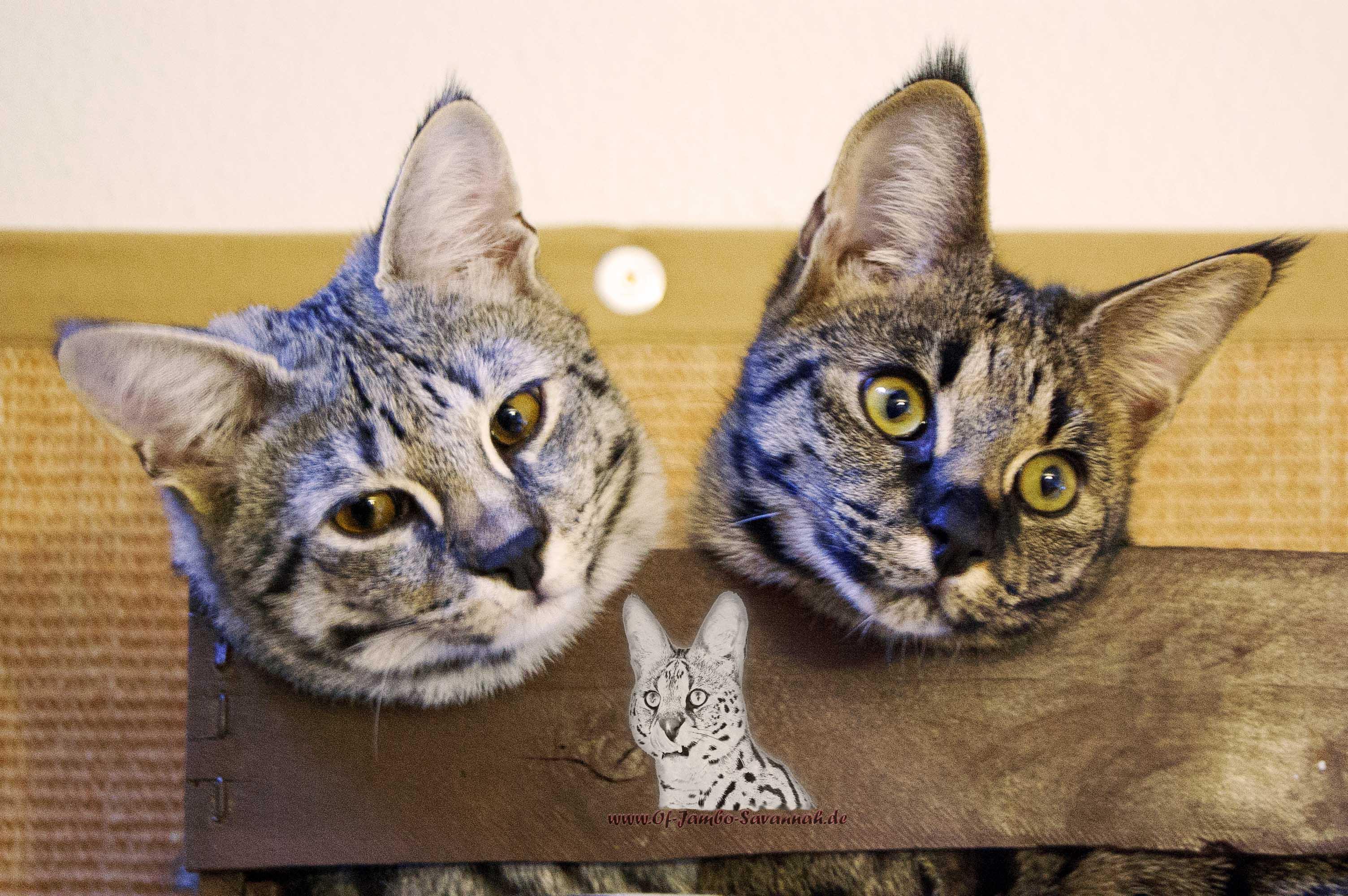 f1 savannah emma und elli of jambo savannah cats. Black Bedroom Furniture Sets. Home Design Ideas