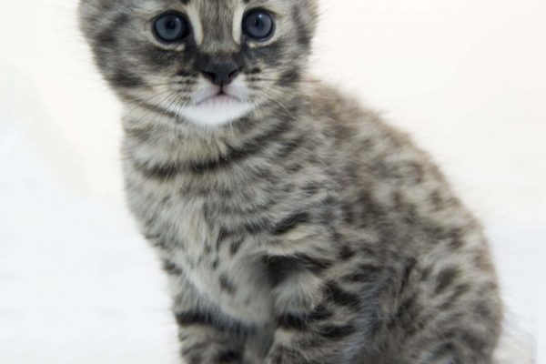 Ein F1 Savannah Kitten gezüchtet von der deutschen Savannahzucht Of Jambo Savannah von Angela Hönig.