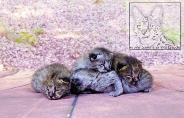 F1 Savannah Kitten 10 Tage alt