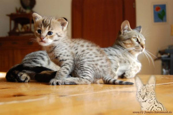 Savannahkatze, Savannahcat, Savannahkitten, Savannahzucht, Deutschland, Savannahcats-germany, Koblenz, felidae-ev, Catsclub