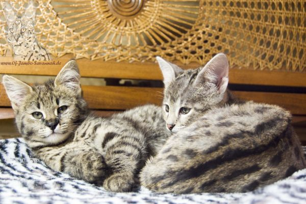 "F1 Savannah Kitten ""Diamond and Chuma of Jambo"". Both have different mothers, but the same father. The father is Serval Thor."