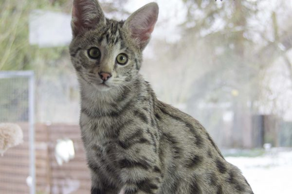 F1 Savannah Cat Boy 6 month old
