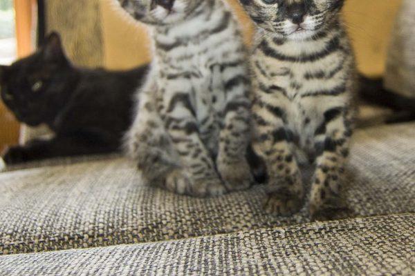 Die beiden Schwestern sind einfach wunderschöne F1 Savannah`s. Eine black-tabby/spotted und eine ist black-silver-tabby/spotted