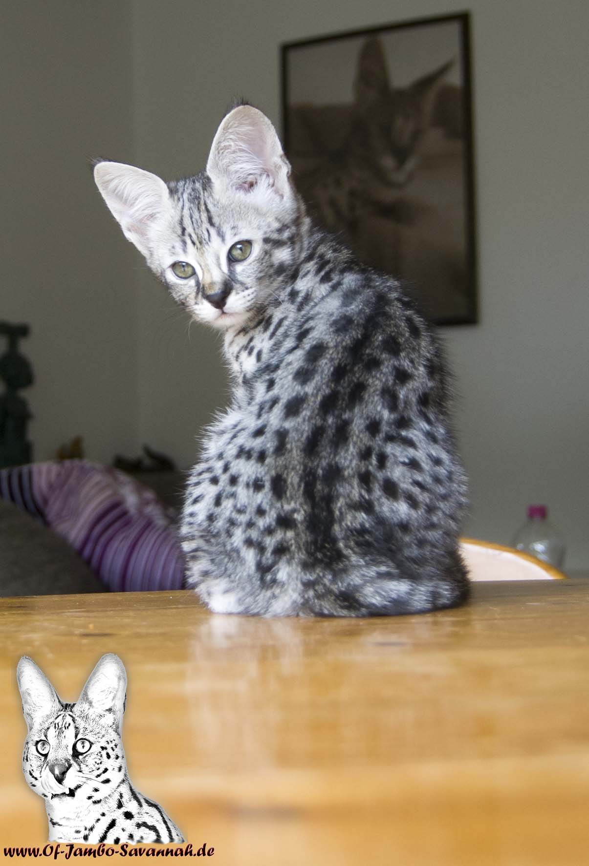 f1 savannah kitten emma of jambo of jambo savannah cats. Black Bedroom Furniture Sets. Home Design Ideas