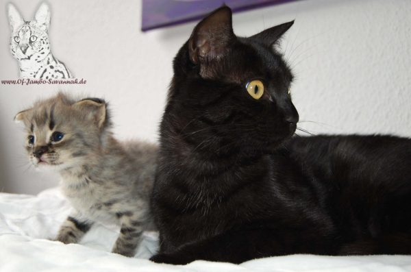 F1 Savannah Kitten mit seiner Mutter, einer F5 Savannah (black smoke)