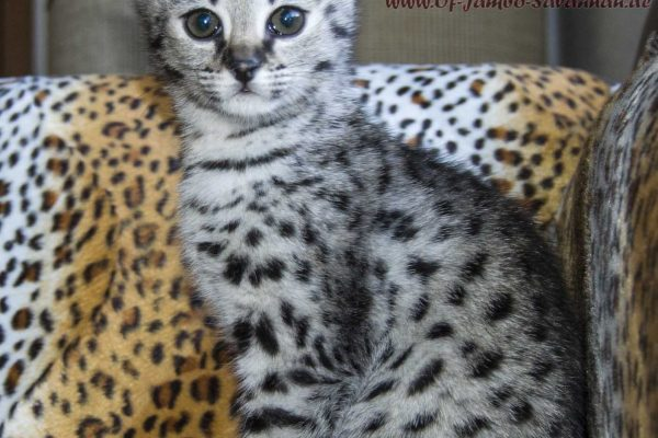 F1 Savannah Kitty Headie is 8 weeks old in this photo !!! Headie is looking for a loving family!