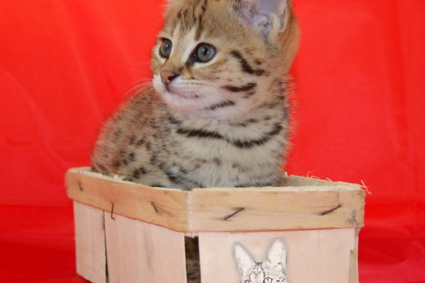 Here you can see the Bella of Jambo a F1 Savannah Kitten from the Savannah breed of Angela Hönig from Germany