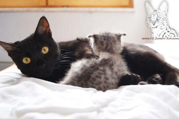 F5 Savannah Katze mit F1 Kitten