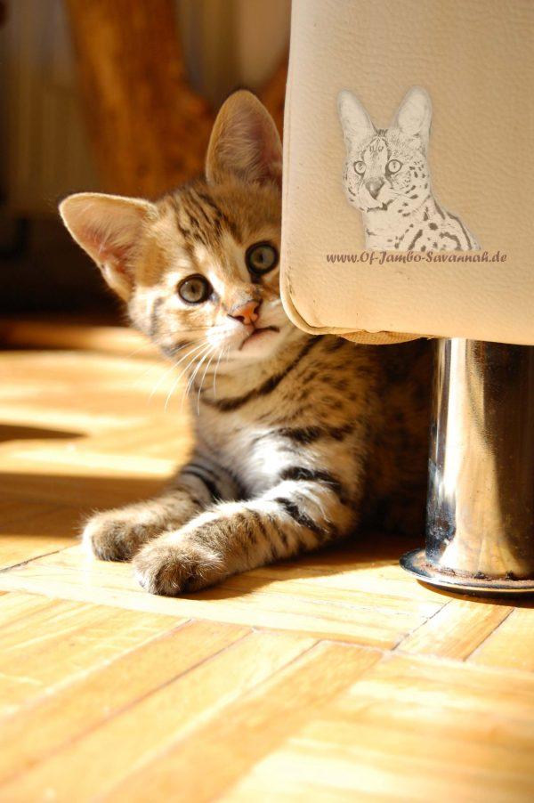 Hier sehen Sie Bella of Jambo. Bella war unser erstes F1 Savannah Kitten