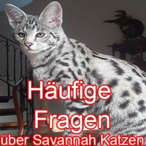 Fragen zu Savannah Katzen