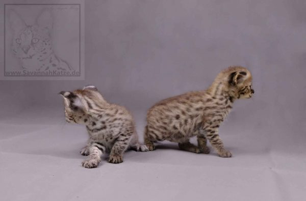 These two F1 Savannah kittens, both girls, are still looking for a new home. Shipping worldwide